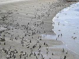 Pinguinos en Puerto Madryn